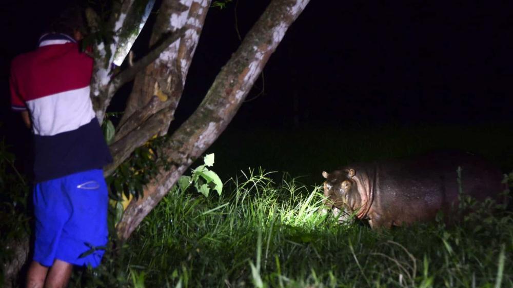 DESCENDENTES DOS HIPOPÓTAMOS DE PABLO ESCOBAR GERAM RECEIO NA COLÔMBIA